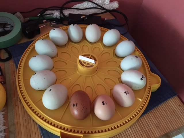 Hatching eggs in an incubator
