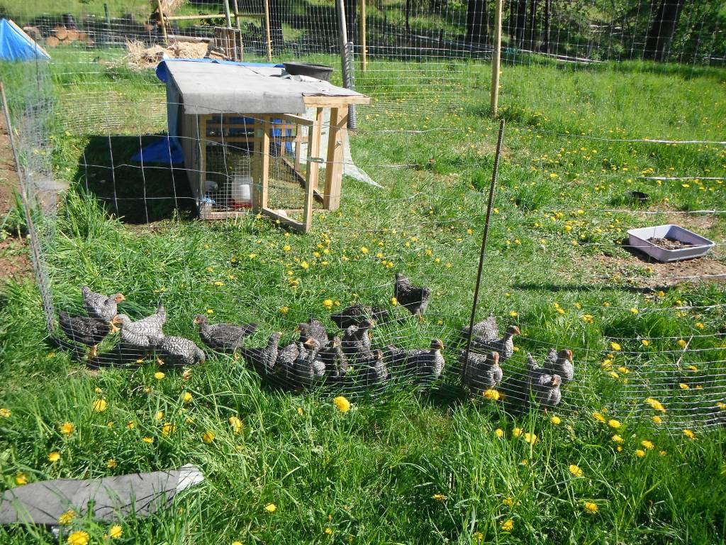 Barred Rock Chicks on Pasture - Rose Hill Farm