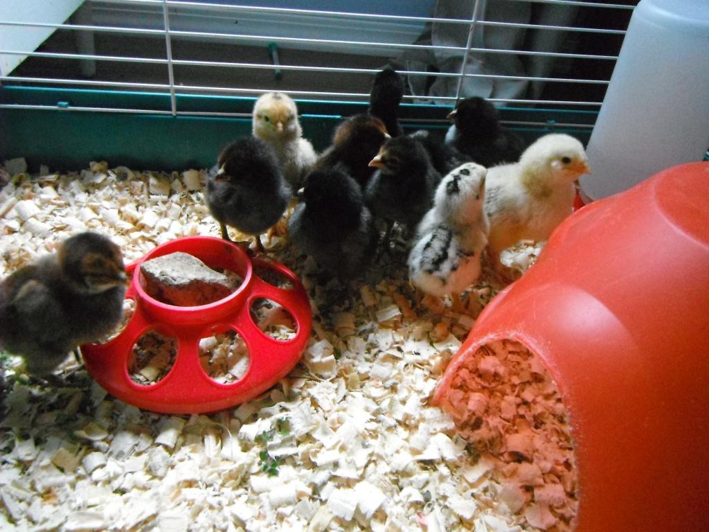 Silver Americana Chicks in a Brooder - Rose Hill Farm