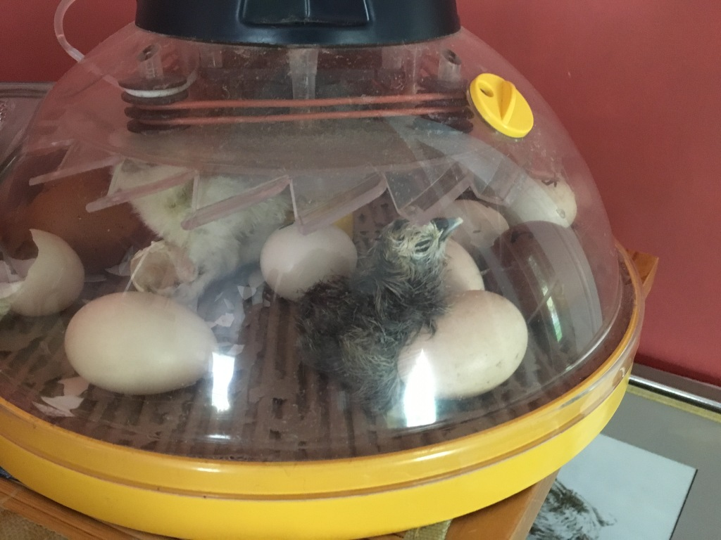 Silkie Chicks Hatching in Incubator - Rose Hill Farm