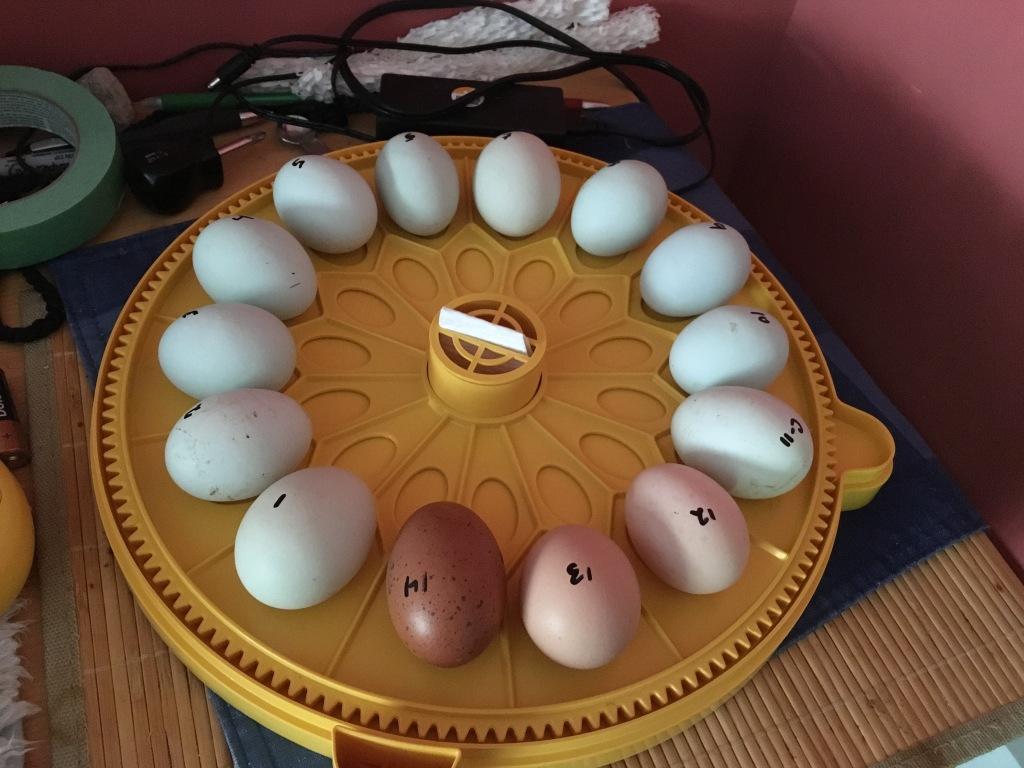 Chicken Eggs in Brinsea Maxi II Incubator - Rose Hill Farm
