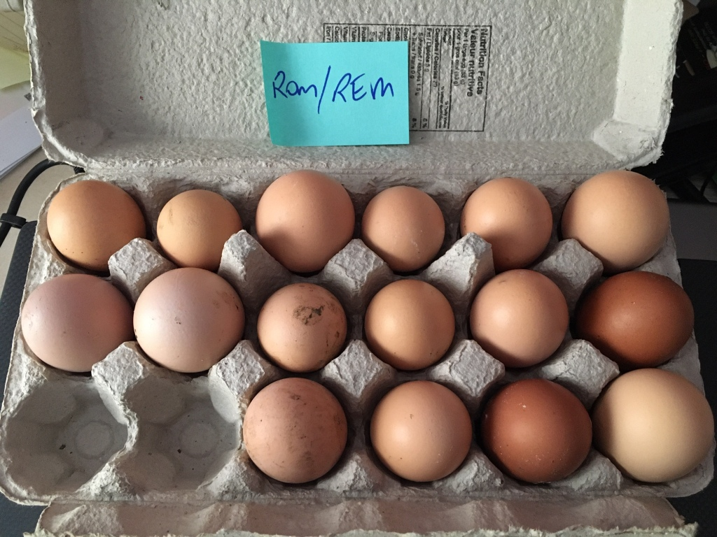 Barred rock eggs collected for hatching