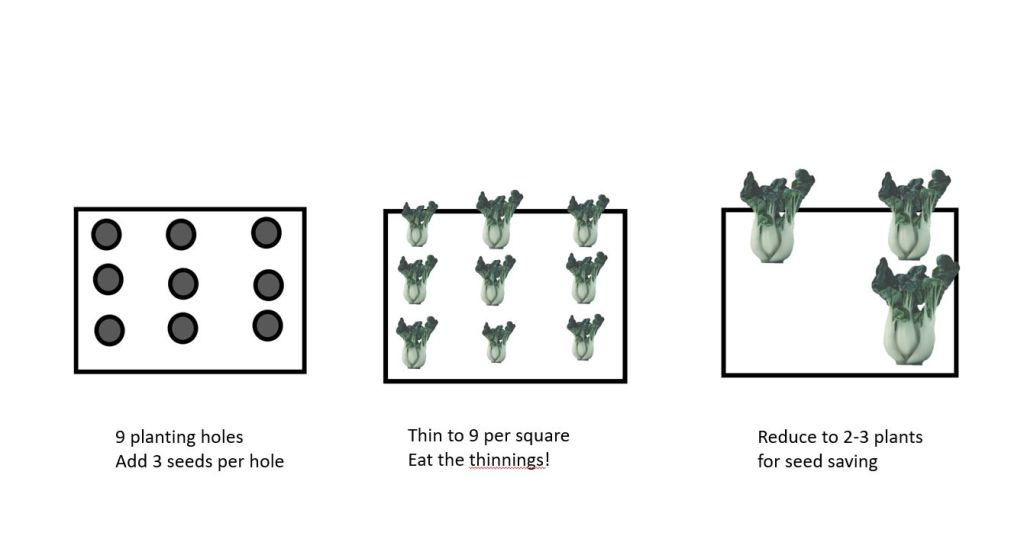 square foot planting method for pac choi