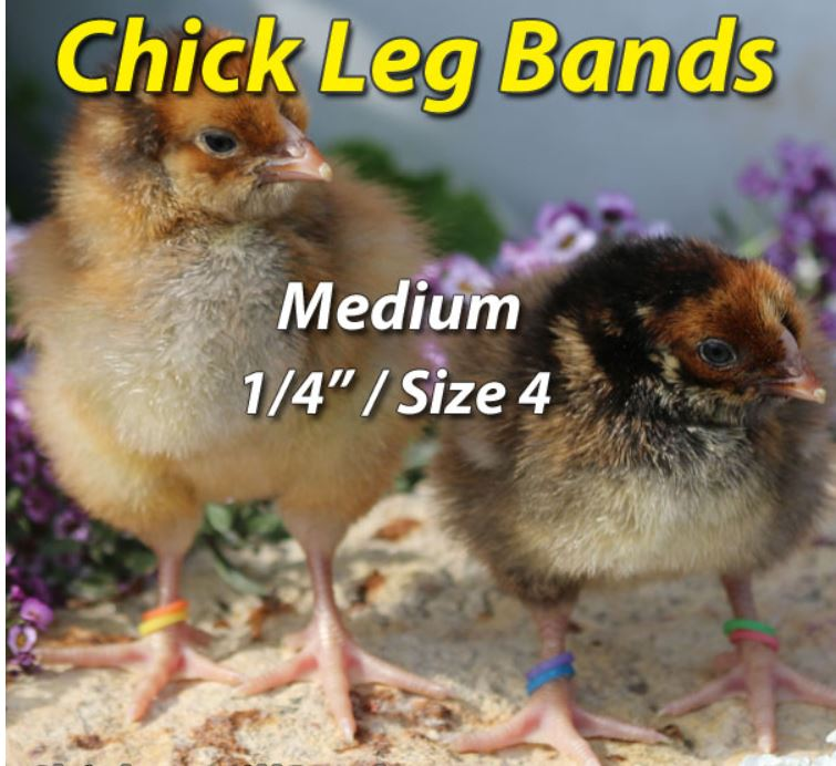 Chicks with leg bands