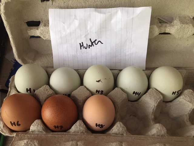Hatching eggs - Rose Hill Farm