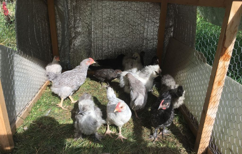 Barred Rock and Marans Chicks - 45 days old - Rose Hill Farm