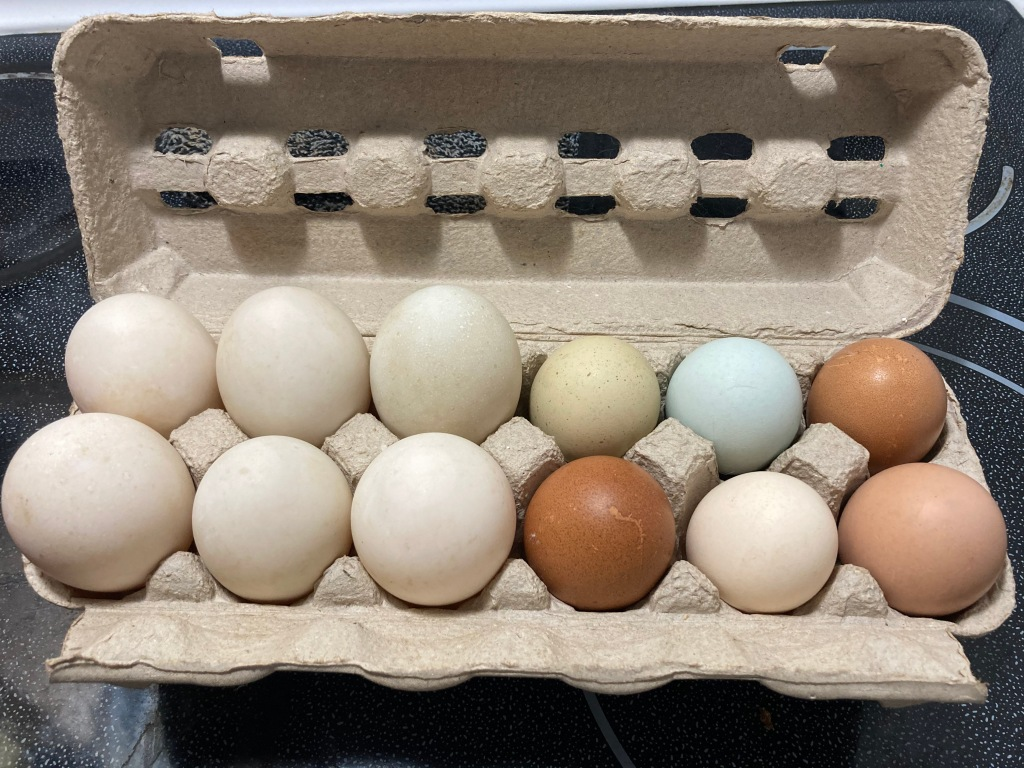 Silver Appleyard duck eggs (left) compared to heritage chicken eggs (right).  The duck eggs are much bigger.