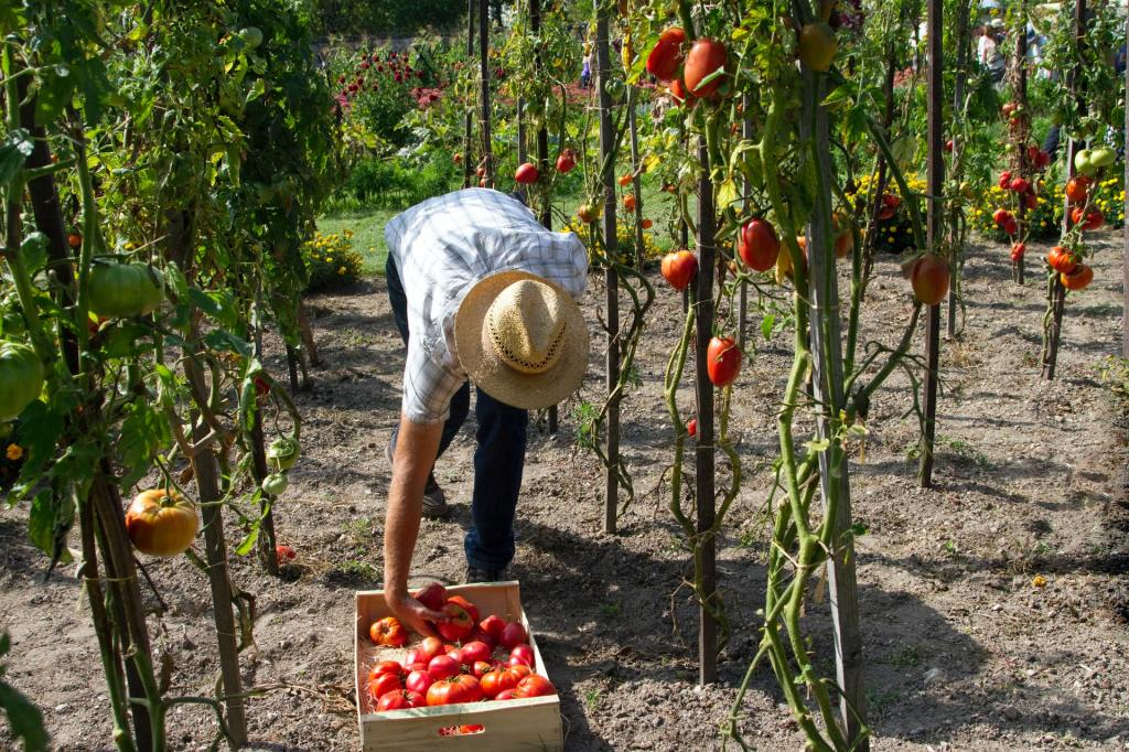 A man picking tomatoes in the garden