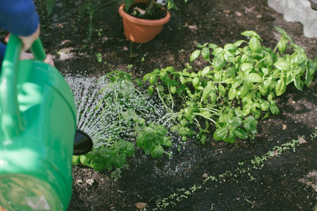 Watering basil that is growing in a garden row