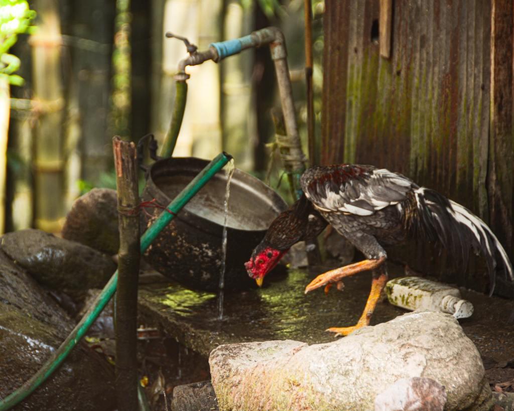 An exotic chicken stands in a beautiful bird bath.