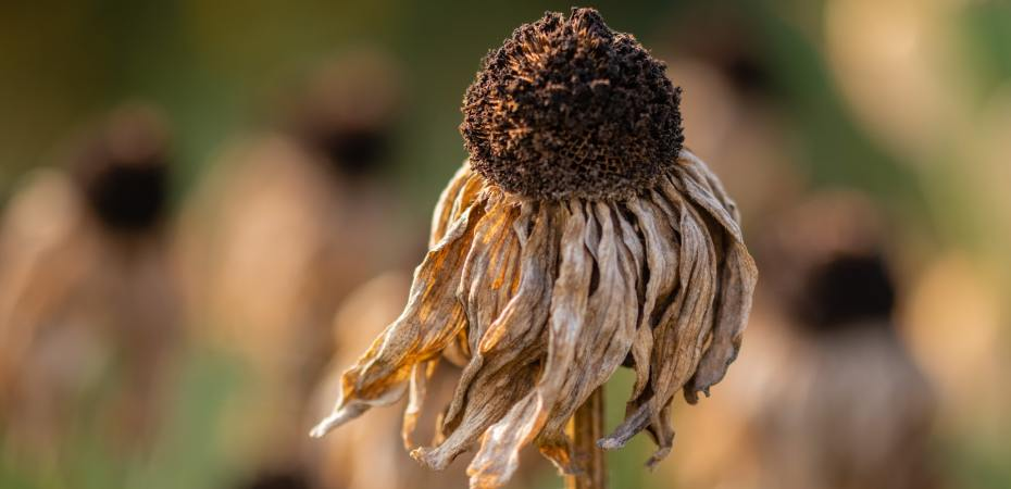 Dried out echinacea flower.